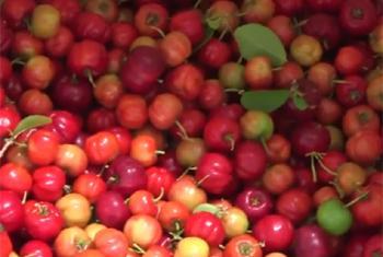 cherries (IFAD video capture)