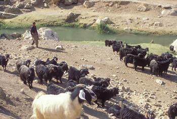 Iraqi shepherd. FAO@PHOTO