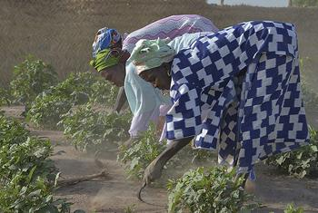 A group of women working in their village vegetable garden. ©FAO/Antonello Proto