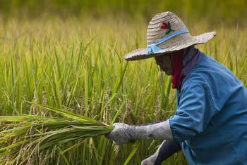 Thai farmers harvest rice near Ta Pra Mok, Thailand. Rice is the staple food for more than half the world's population, including 640 million undernourished people living in Asia