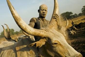 A Mandari Cattle herder rubs one of his cows with ash to protect its skin from the burning sun in Southern Sudan. © Kate Holt/IRIN