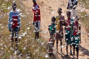 New locust threat in Madagascar. FAO@PHOTO