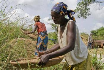 Farmers in Sierra Leone, one of three countries hardest hit by the Ebola Virus, threshing rice.