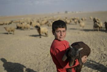 A Syrian Kurdish boy from Mile Village, Kobani, holds a goat near the Syrian border, after shepherds crossed into Turkey with their animals. FAO@PHOTO