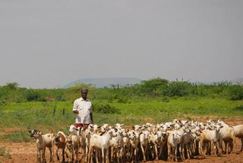 Livestock herders on the outskirts of a small market in Belet Weyne, Somalia.