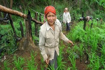 Upland women weed their rice fields in Laos.