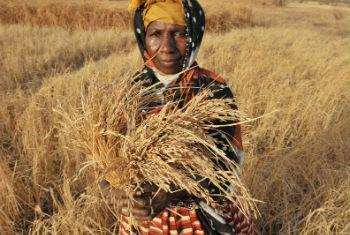 A farmer in The Gambia shows a dry tuft of rice in a drought period. FAO File Photo/Seyllou Diallo
