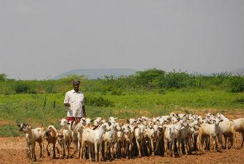Livestock is one of the main drivers of Somalia's economic growth. File