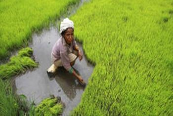 Rice harvest in Timor-Leste.