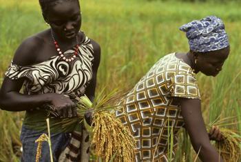 Women harvesting rice in Senegal.
