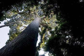 An old-growth tree in the Nkula Forest, Democratic Republic of Congo.