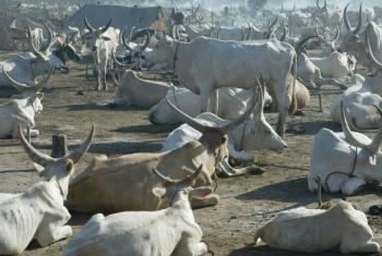 Cattle rest at a temporary camp in South Sudan. File