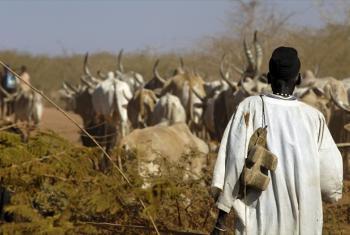Cattle raising in Sudan.