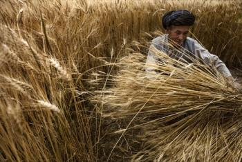 A farmer harvests his wheat crop in Bamyan, Afghanistan.
