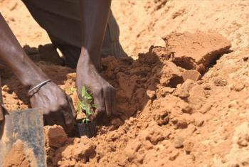 A farmer plants acacia seedlings in Liguere, Senegal.