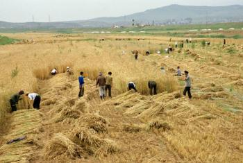 Workers harvest barley in an agriculture project that was assisted by the United Nations Development Programme (UNDP).