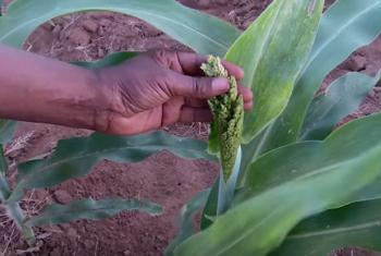 Sorghum plant. IFAD TV Video Caption