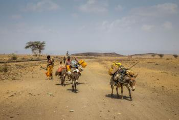 Semi-pastoralists have been hard-hit by drought and cattle are dying as the El Niño weather phenomenon has forced families to be on the move from Haro Huba kabele in central Ethiopia in search of grazing land and water.