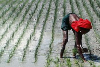 Rice cultivation in Bangladesh.