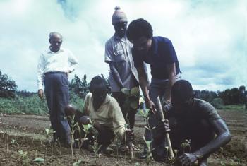FAO Forestry Expert, Q. Ghaus (Bangladesh), left, and his Liberian counterpart (second from right) supervising the planting of teak at the College of Agriculture and Forestry near Monrovia.