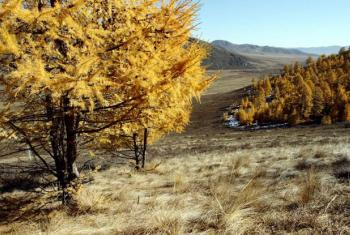 Larch trees in Mongolia's Altansumber forest.