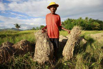A farmer packs up bundles of rice destroyed in the recent torrential rains which affected much of Timor-Leste.