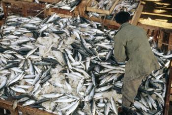 Sorting mackerel unloaded at the Pusan fish market.