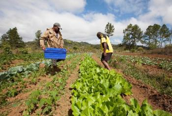 Farmers growing lettuce and other vegetables in the highlands of Bevatu Settlement, Nadrau, Viti Levu, Fiji.
