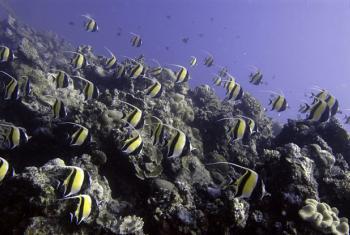 A school of Moorish Idols cruise over the coral reef, Ha'apai, Tonga.