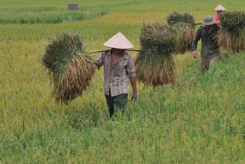 Harvesting rice in Viet Nam. Global rice consumption trends are rising.