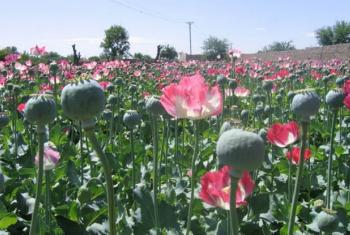 Opium poppy field in the south of Afghanistan.