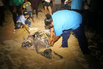 Suzan Lakhan Baptiste (right) of Nature Seekers helps measure a leatherback turtle on Matura Beach, Trinidad and Tobago.