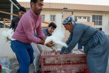 Erbil, Iraq: local families and Syrian refugees benefit from UNFAO project to restore livelihoods.