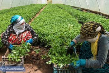 UNDP-supported green houses in Rural Qamishli are now producing enhanced vegetables seedlings, which in turn are distributed to affected small farmers in Al-Hassakeh to help them restore their livelihoods, while creating many job opportunities for displac
