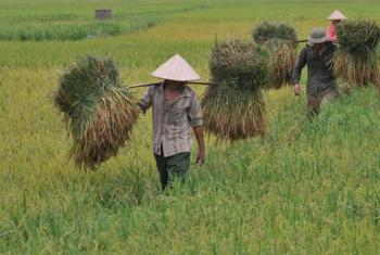 Harvesting rice in Viet Nam. The newly adopted Codex Alimentarius Commission agreement aims to ensure the prevention and reduction of natural arsenic contamination.