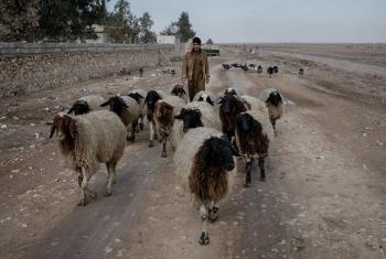 FAO plans to vaccinate the animals against six diseases: sheep and goat pox, brucellosis, enterotoxaemia, blackleg disease, lumpy skin disease, and foot-and-mouth disease. © FAO Cengiz Yar