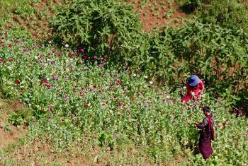 Opium poppy cultivation in the Golden Triangle stabilized in 2015 at high levels.