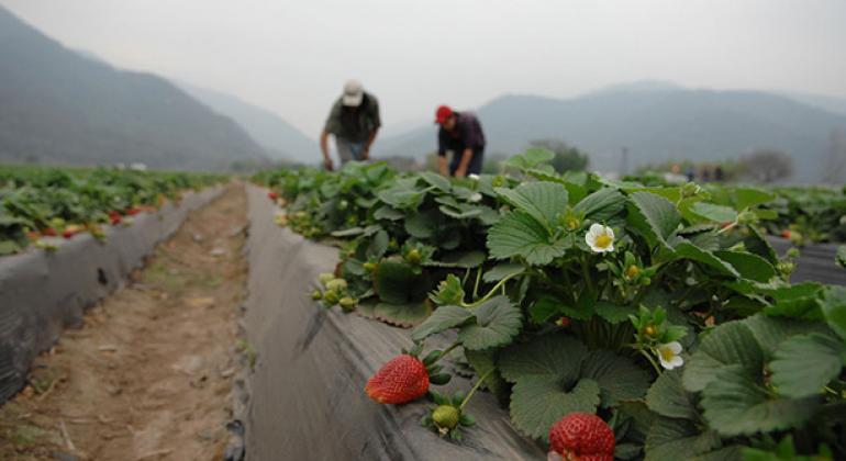 Agricultores trabajan en un campo de fresas en Argentina. Foto: Banco Mundial/Nahuel Berger