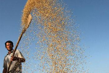 La producción de arroz en Tayikistán. Foto: FAO / Vasily Maximov