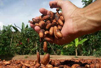 Producción de cacao. Cultivos alternativos. Foto: UNODC Colombia