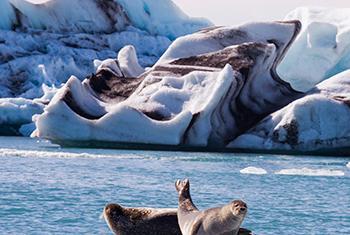 Leones marinos en Jökulsárlón Laguna glacial, en el sureste de Islandia. Foto ONU: Eskinder Debebe.