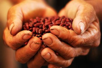 Uno de los problemas que afrontan las comunidades indígenas en Bolivia es que debido a las inundaciones pueden perder todas las semillas para las cosechas de años subsiguientes, dijo la FAO. Foto de archivo, FAO.