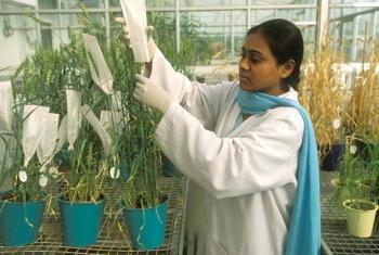 Una investigadora obtiene semillas de una variedad de trigo en un proyecto patrocinado por la FAO en la India. Foto: FAO