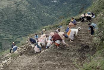 Estas terrazas rinden un 70% más de papas por hectárea que los campos en pendientes. Foto: I.Velez/FAO