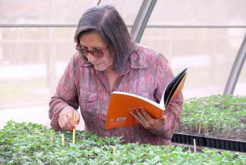 La profesora Luz Gómez Pando de la Universidad La Molina del Perú, examina posturas de quinua, sus semillas fueron irradiadas con rayos gamma. Foto OIEA: Louise Potterton