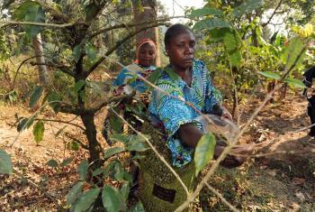 Cultivo agroforestal en Kigoma, Tanzania. Foto: FAO.