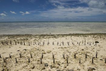 Manglar plantado en Tarawa, un atolón de Kiribati. Foto: ONU/Eskinder Debebe