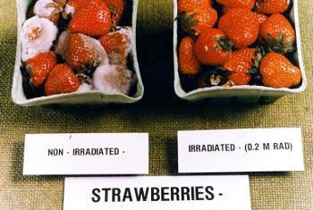Un exemple des effets des rayonnements ionisants sur la conservation des fraises. Photo AIEA.