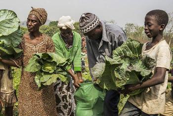 En Sierra Leone FAO travaille à l'autonomisation des agricultrices à Koinandugu, après le passage d'Ebola. Photo FAO/Sebastian Liste