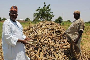 Dans l'Etat de Yobe, des paysans devant leur récolte de mil.
